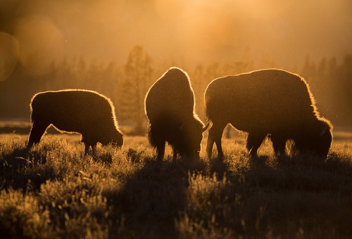 900x612xThree-bison-backlit,,-Yellowstone-National-Park,,-Wyoming.jpg.pagespeed.ic.5zp9fW7Mwe